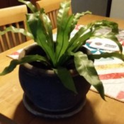 What Is My New Houseplant? - wavy flat leafed houseplant