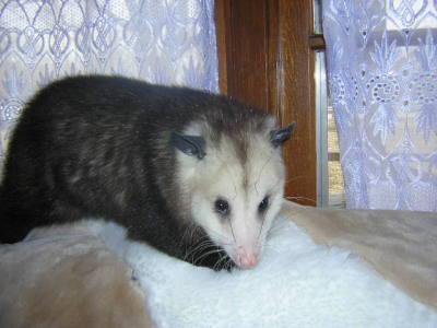 Getting Rid of Opossums | ThriftyFun