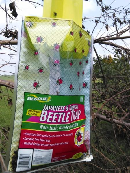 Killing Japanese Beetles - trap