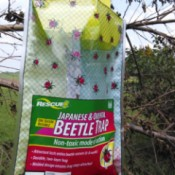 Killing Japanese Beetles - trap