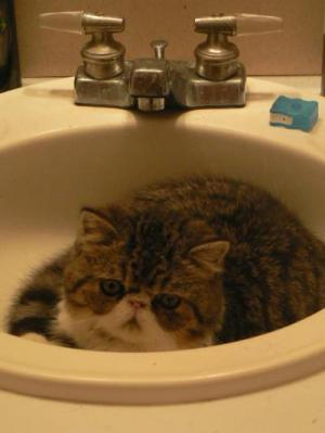 Exotic Shorthair Breed Information And Photos Thriftyfun