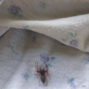 A spider on a item of clothing dried on a clothesline.