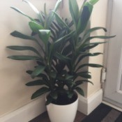 What Is This Houseplant? tall foliage plant in white ceramic pot