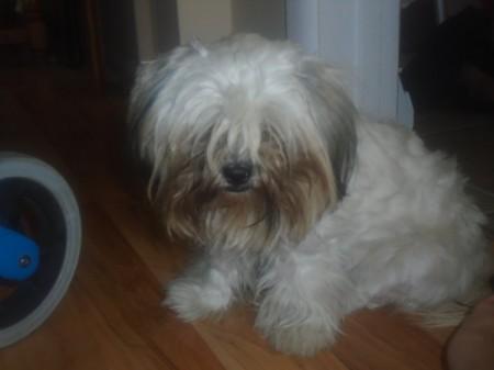 Katie (Shih Tzu) - small white dog