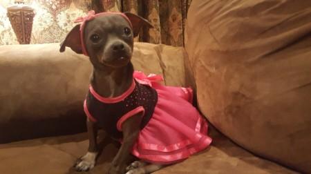 Sherona (Chihuahua) - brown dog wearing a bright pink skirt