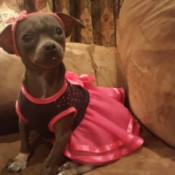 Sherona (Chihuahua) - brown dog wearing a bright pink skirt