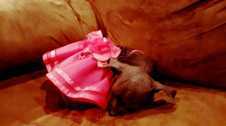 Sherona (Chihuahua) - dog in pink skirt sleeping on a couch