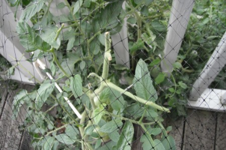 Parasitic Wasps Help Control Hornworms - damaged tomato plant