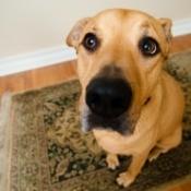 A dog sitting on a rug.