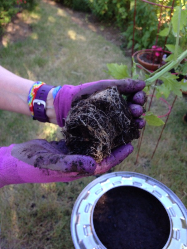 Plant Your Tomato in a Recycled Washing Machine Tub - tomato plant removed from pto