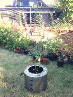 Plant Your Tomato in a Recycled Washing Machine Tub