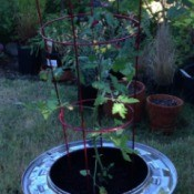 Plant Your Tomato in a Recycled Washing Machine Tub - planted closeup