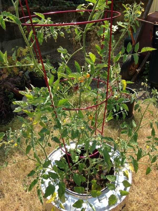 Plant Your Tomato in a Recycled Washing Machine Tub - current plant