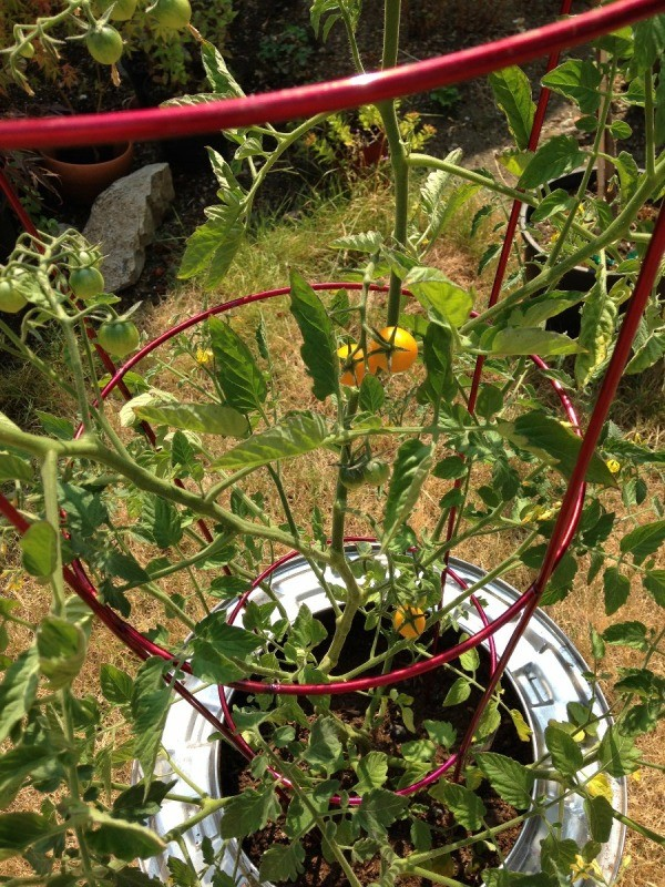 Plant Your Tomato in a Recycled Washing Machine Tub - closeup with ripe and green tomatoes