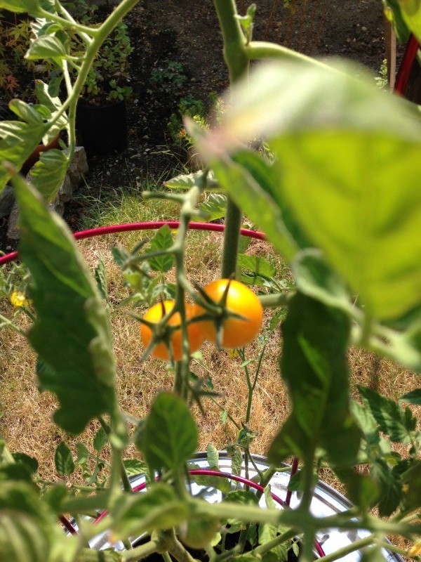 Plant Your Tomato in a Recycled Washing Machine Tub - ripe cherry tomatoes