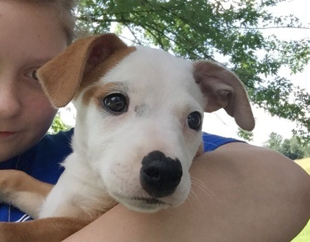Bella (Pit Bull Mix) - child holding a brown and white puppy
