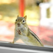 A squirrel sitting outside a window.