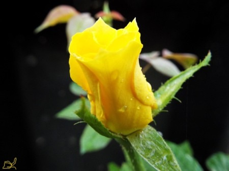 Photograph Your Garden In Early Light - yellow New Day rose bud