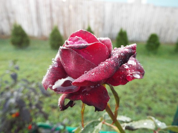 Photograph Your Garden In Early Light - Dark Desire red rose