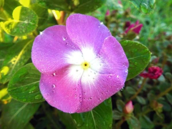 Photograph Your Garden In Early Light - deep pink vinca flower