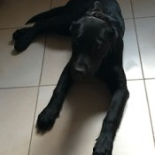 Surviving the Parvo Virus - black dog on white tile floor