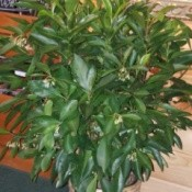 What Is This Houseplant? - shrubby looking houseplant