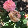 Deadhead Roses for Better Blooms - pink rose and withered bloom