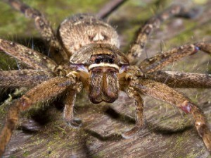A wolf spider photographed from the front.