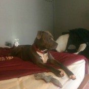Is My Dog a Full Blooded Pit? - dog in profile on bed
