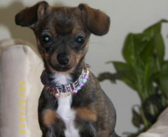 Dotson and chihuahua mix pictures Chihuahua Dachshund Mix Breed - A Guide To The Chiweenie