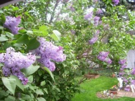 Garden: Lilac Photos