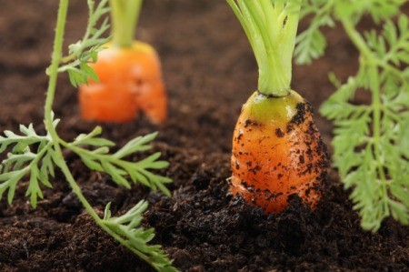Healthy carrots growing in the ground.