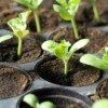 Seedlings growing.