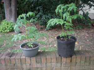 Growing Green Peppers - two potted plants on brick wall