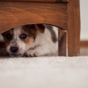 A puppy hiding under a bed.