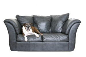 A dog laying on a leather couch.