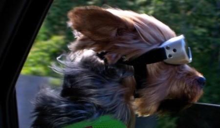 PeeWee (Yorkie) - dog wearing goggles