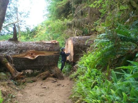 A giant log on a trail at Cape Perpetua, on the Oregon Coast.