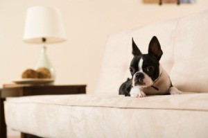 A Boston Terrier sitting on a couch.