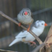 A pair of zebra finches on a branch.