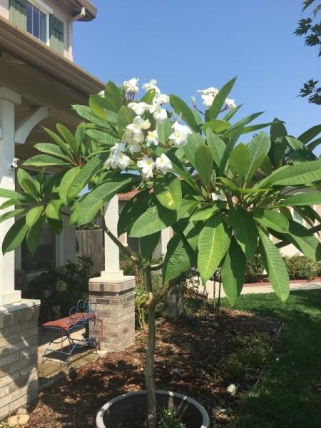A white plumeria in bloom.
