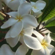 A Little Aloha in Northern California (Plumerias)