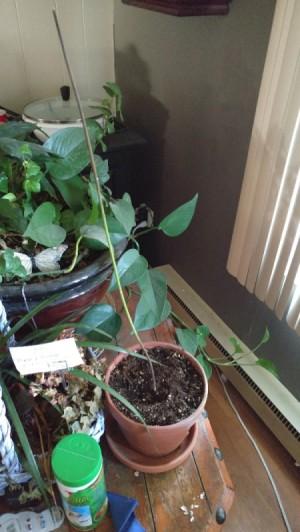 Avocado Plant Turning Brown