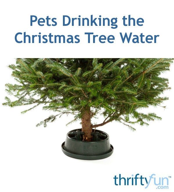 Christmas Tree Drinking Water