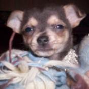 Kahlua - Chihuahua