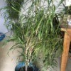 What Is This Houseplant? - tall dracaena like plant