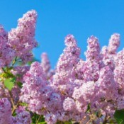 A picture of a blooming lilac bush.