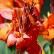 A red canna lily.