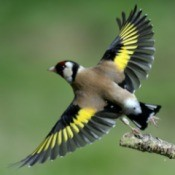 Photo of a Goldfinch taking off.