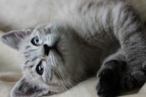 Is Our Kitten a Siamese Mix? - gray kitten